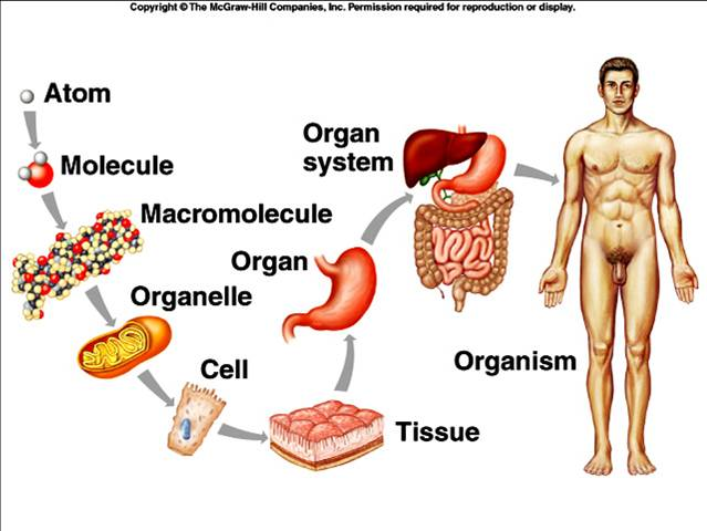 levels of organization within the body